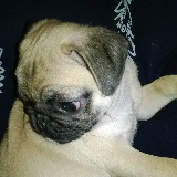 pugmaltesedogs userimage